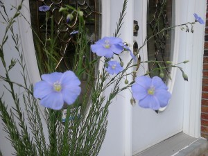 Flax flowers at office entrance
